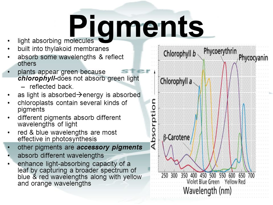 Pigments light absorbing molecules built into thylakoid membranes