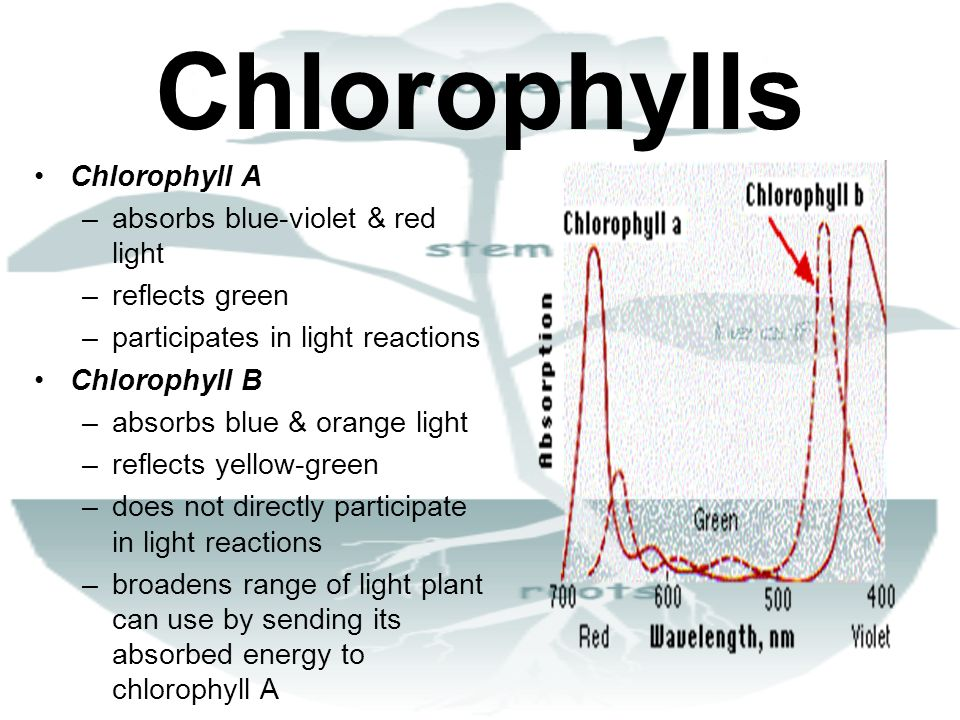 Chlorophylls Chlorophyll A absorbs blue-violet & red light