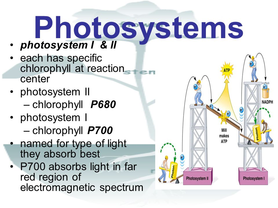 Photosystems photosystem I & II