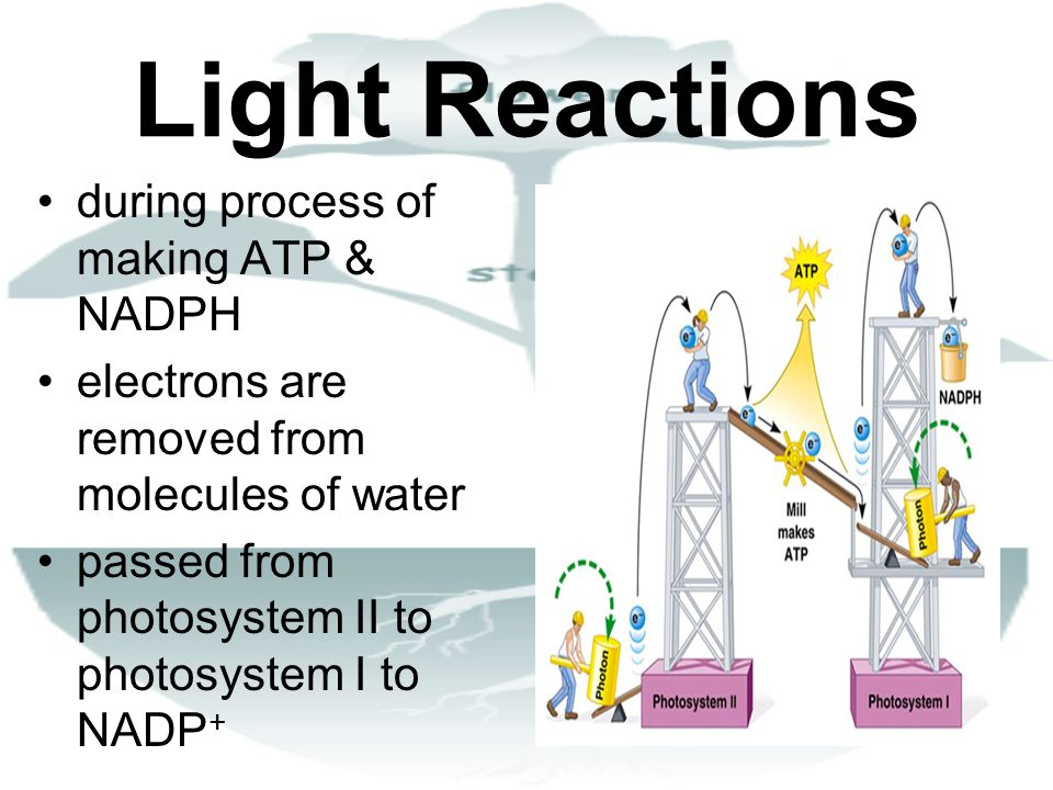 Light Reactions during process of making ATP & NADPH