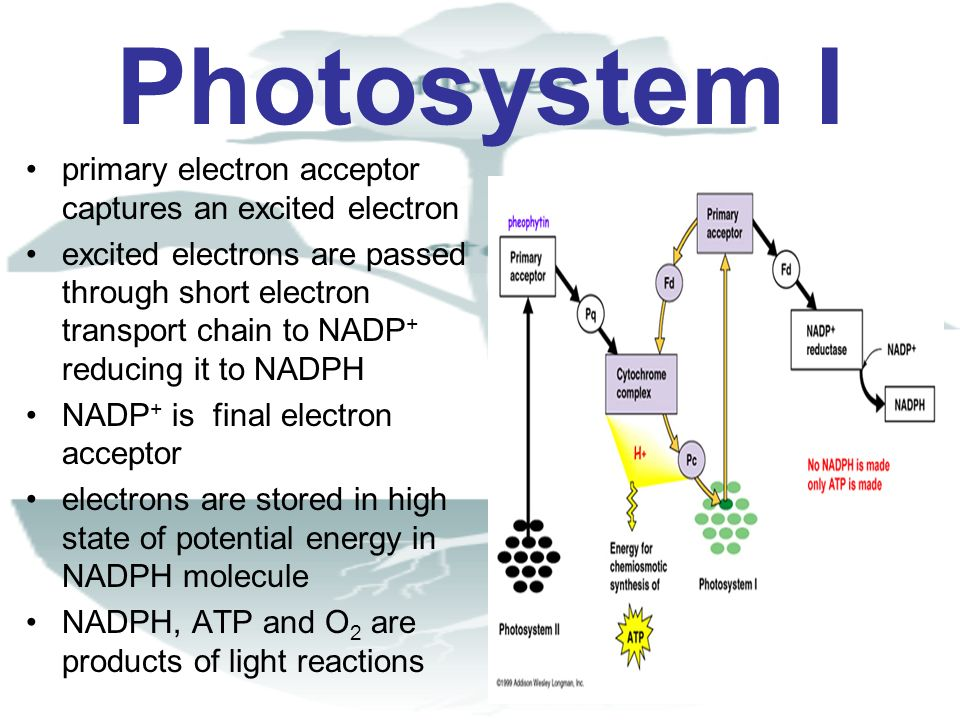 Photosystem I primary electron acceptor captures an excited electron