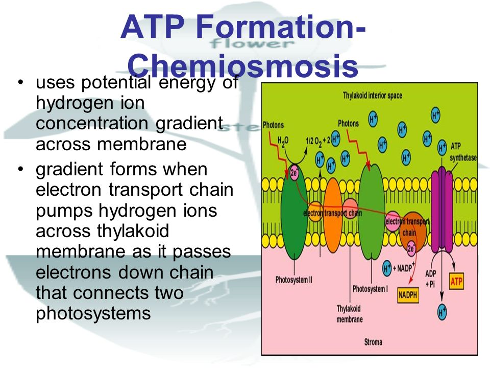 ATP Formation-Chemiosmosis
