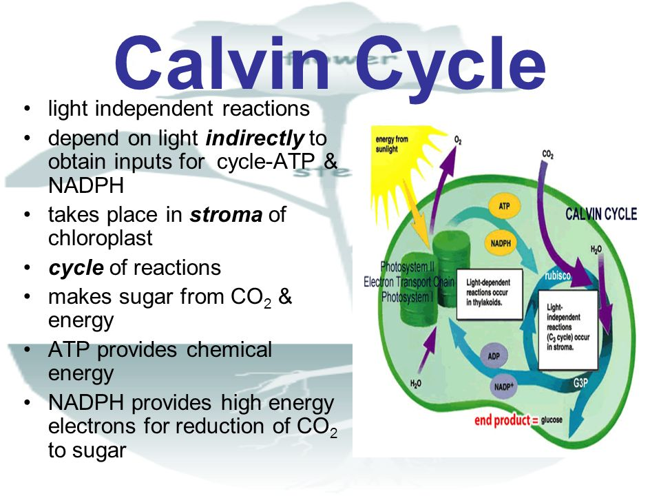 Calvin Cycle light independent reactions