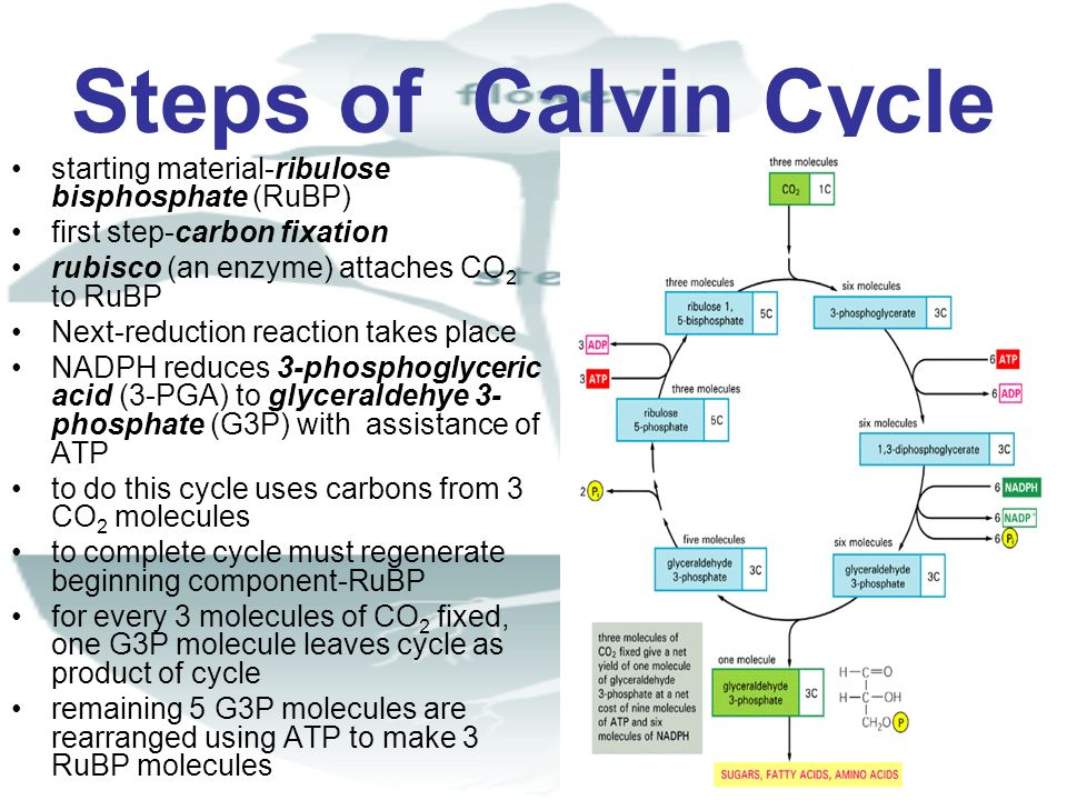 Steps of Calvin Cycle starting material-ribulose bisphosphate (RuBP)