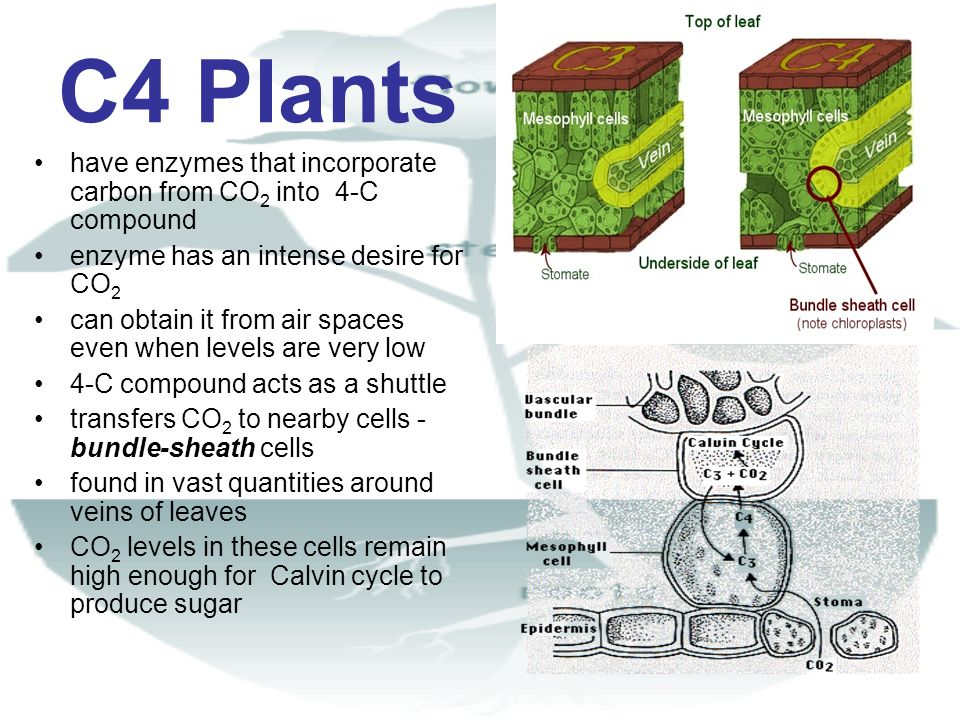 C4 Plants have enzymes that incorporate carbon from CO2 into 4-C compound. enzyme has an intense desire for CO2.