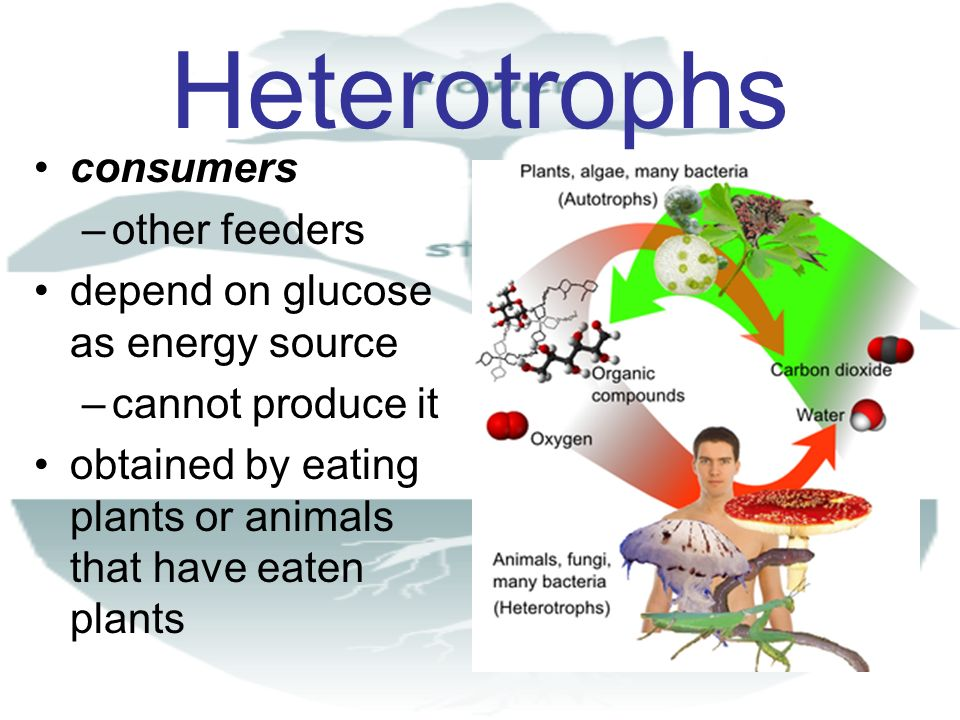 Heterotrophs consumers other feeders