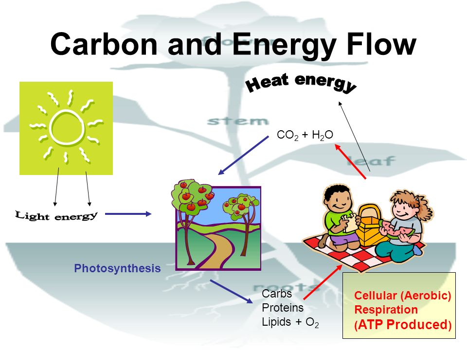 Carbon and Energy Flow Light energy Heat energy CO2 + H2O