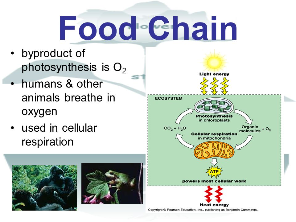 Food Chain byproduct of photosynthesis is O2