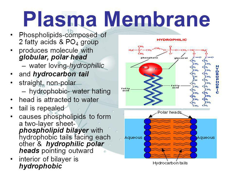 Plasma Membrane Phospholipids-composed of 2 fatty acids & PO4 group