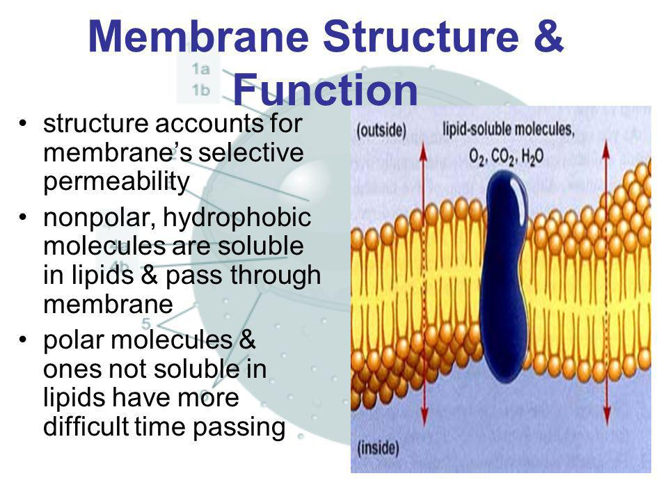 Membrane Structure & Function