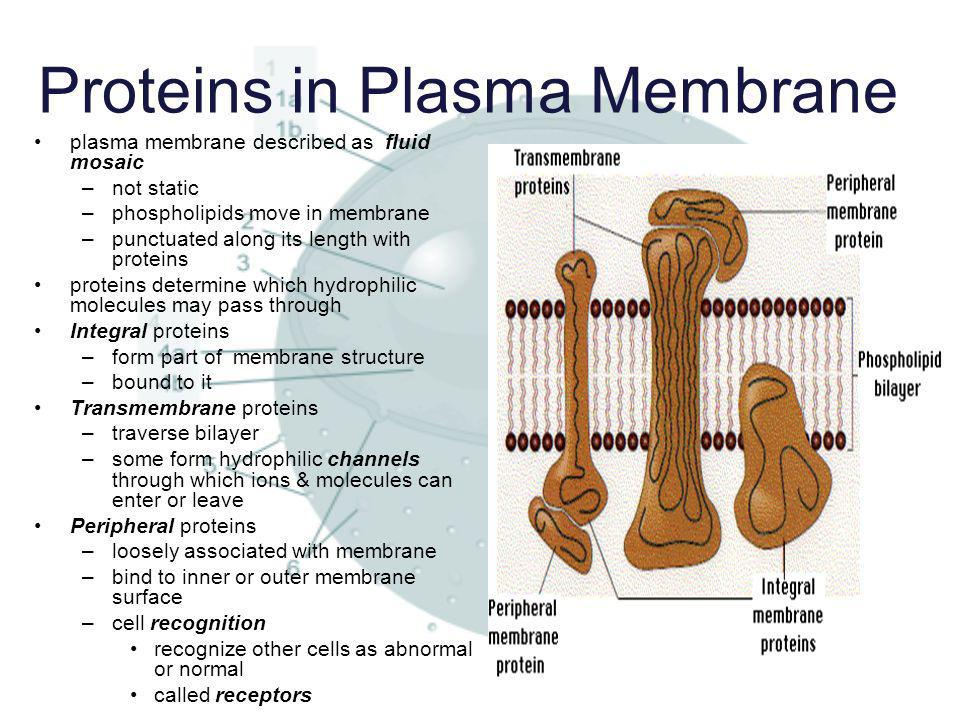 Proteins in Plasma Membrane