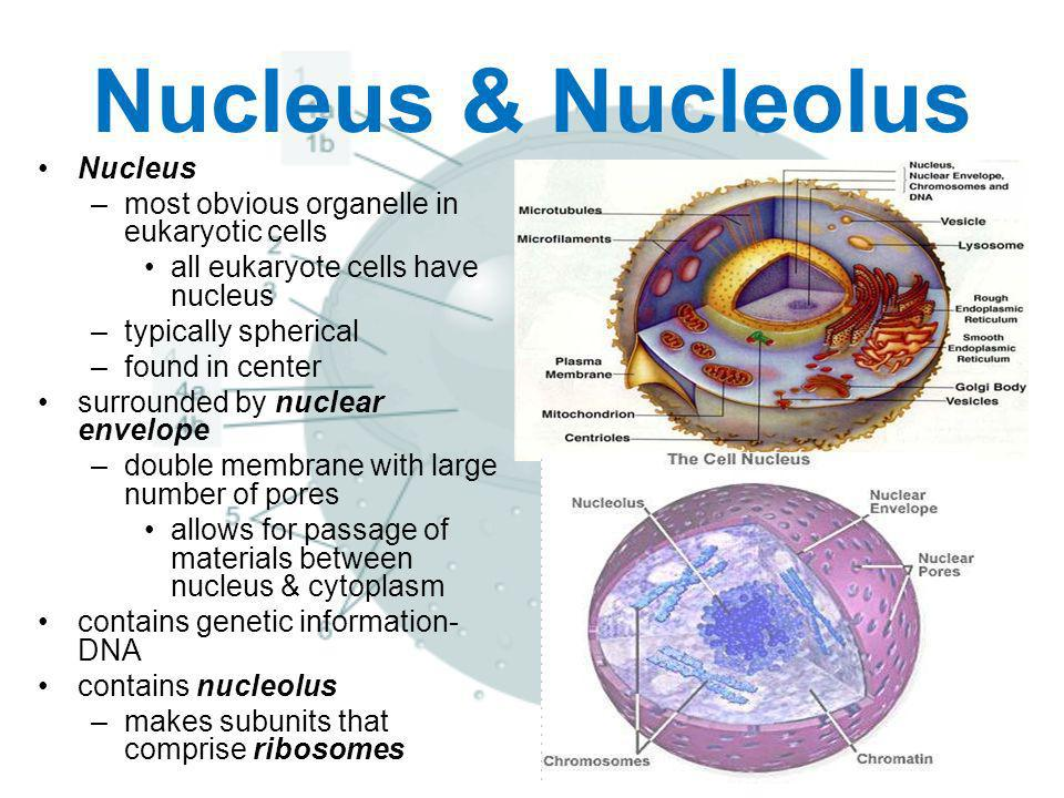 Nucleus & Nucleolus Nucleus most obvious organelle in eukaryotic cells