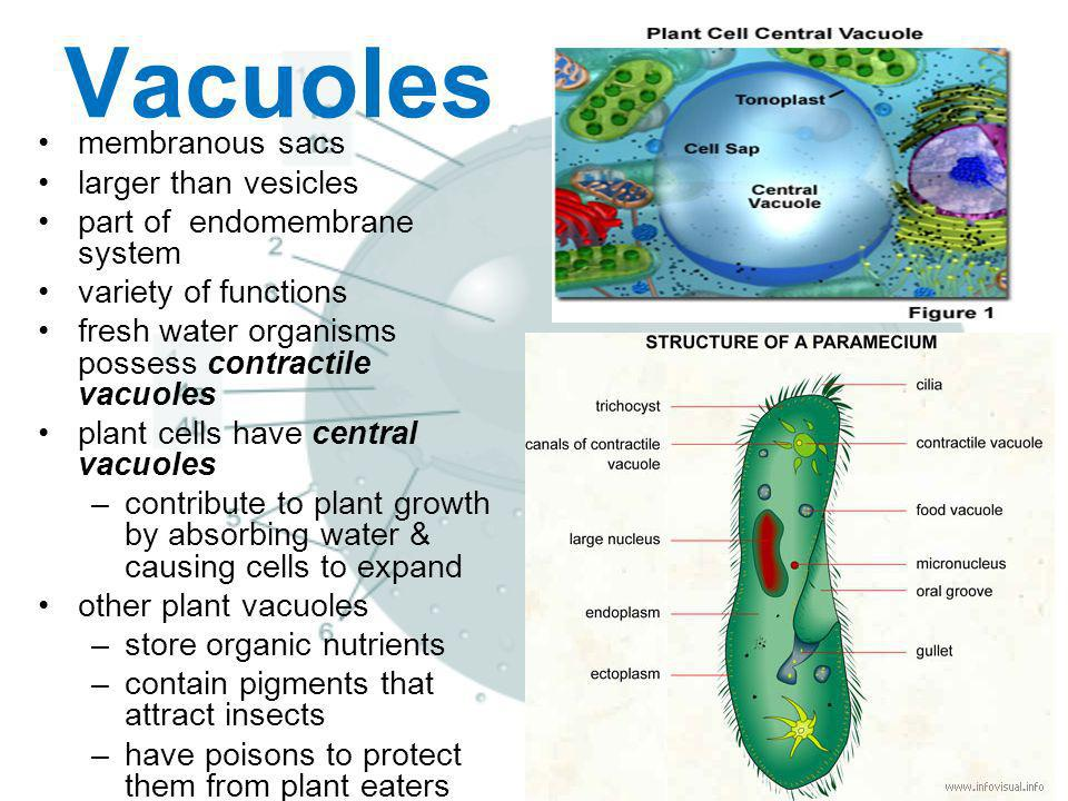 Vacuoles membranous sacs larger than vesicles