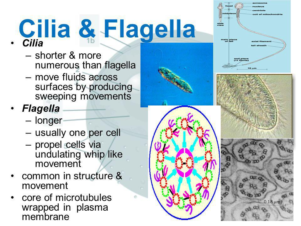 Cilia & Flagella Cilia shorter & more numerous than flagella