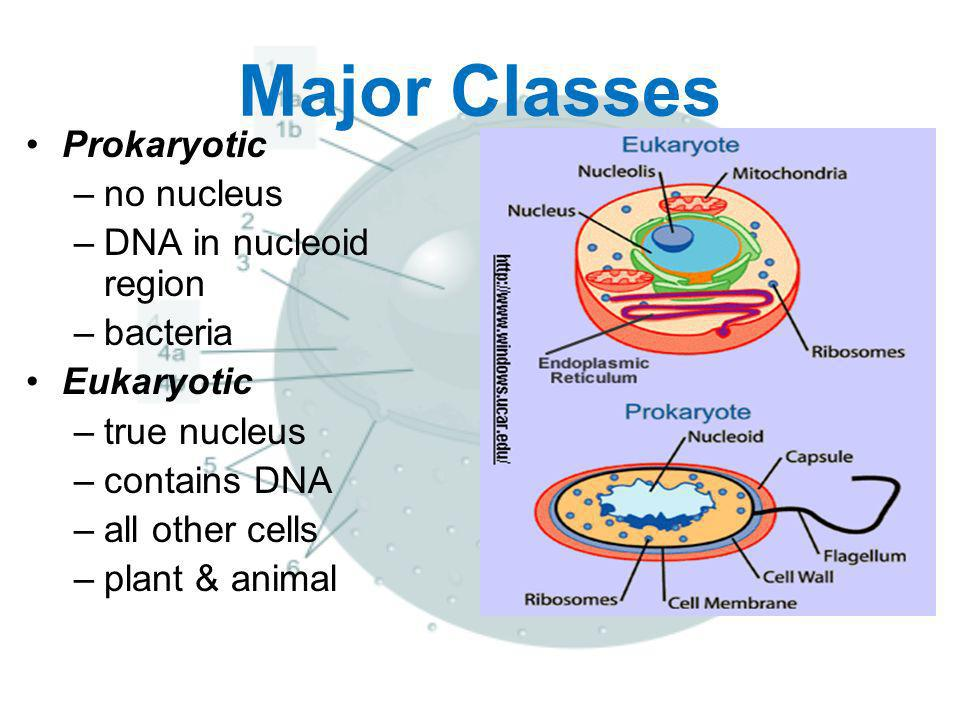 Major Classes Prokaryotic no nucleus DNA in nucleoid region bacteria
