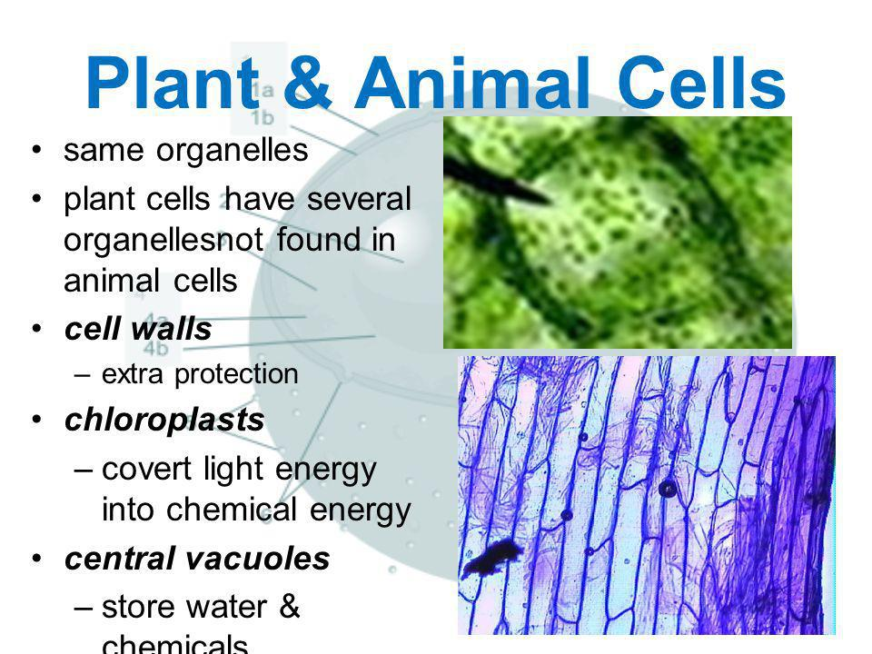 Plant & Animal Cells same organelles
