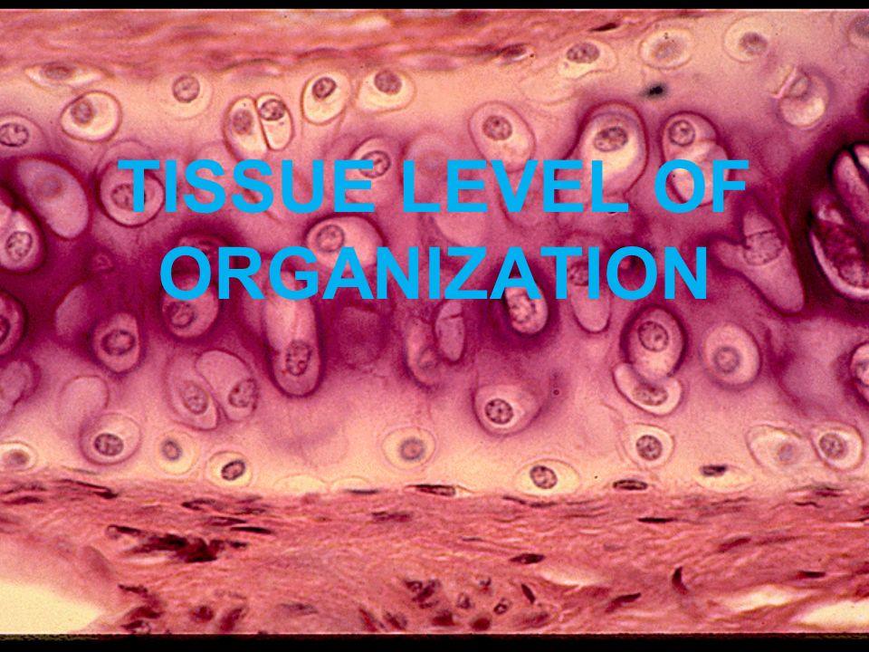 TISSUE LEVEL OF ORGANIZATION