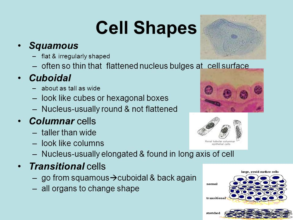 Cell Shapes Squamous Cuboidal Columnar cells Transitional cells