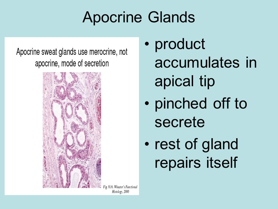 Apocrine Glands product accumulates in apical tip.