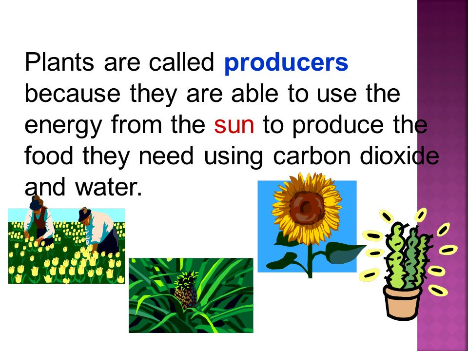 Plants are called producers because they are able to use the energy from the sun to produce the food they need using carbon dioxide and water.