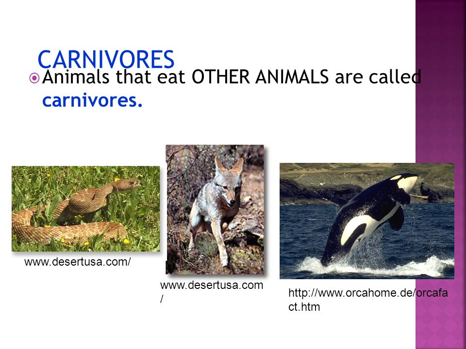 CARNIVORES Animals that eat OTHER ANIMALS are called carnivores.