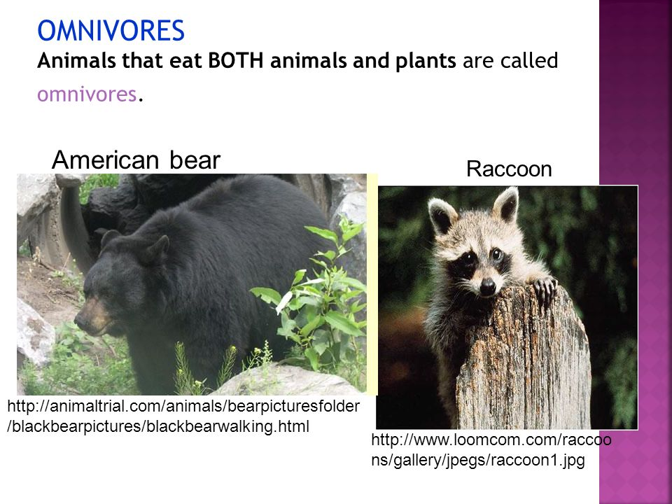 OMNIVORES Animals that eat BOTH animals and plants are called omnivores.