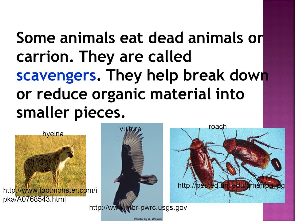 Some animals eat dead animals or carrion. They are called scavengers