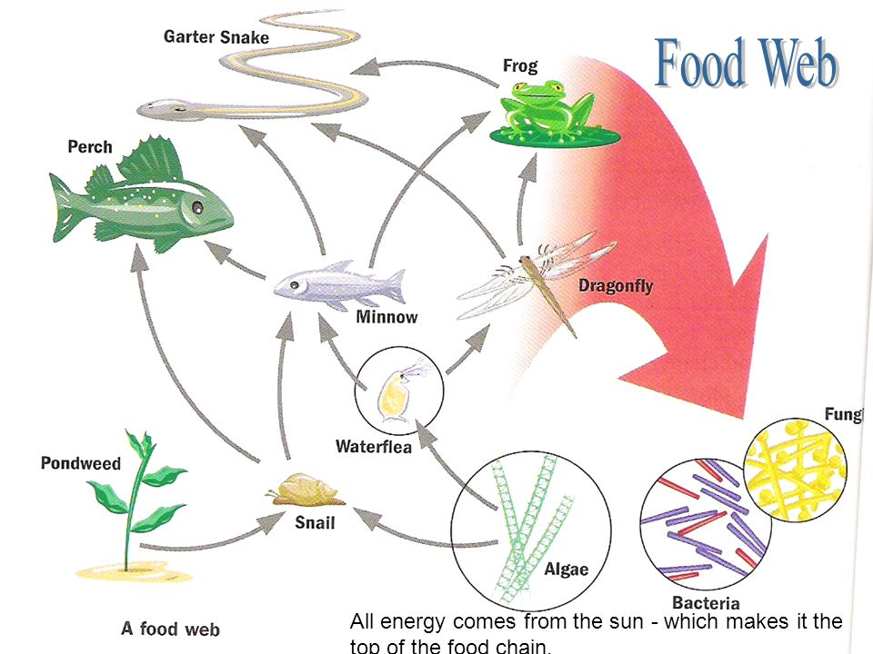 Food Web All energy comes from the sun - which makes it the