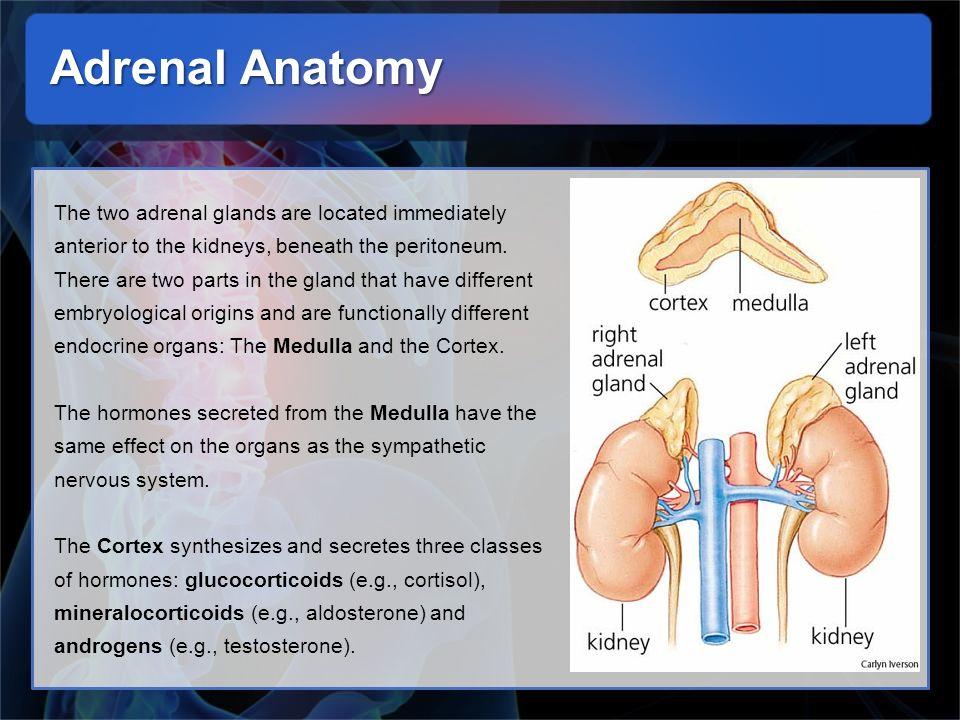 Adrenal Anatomy