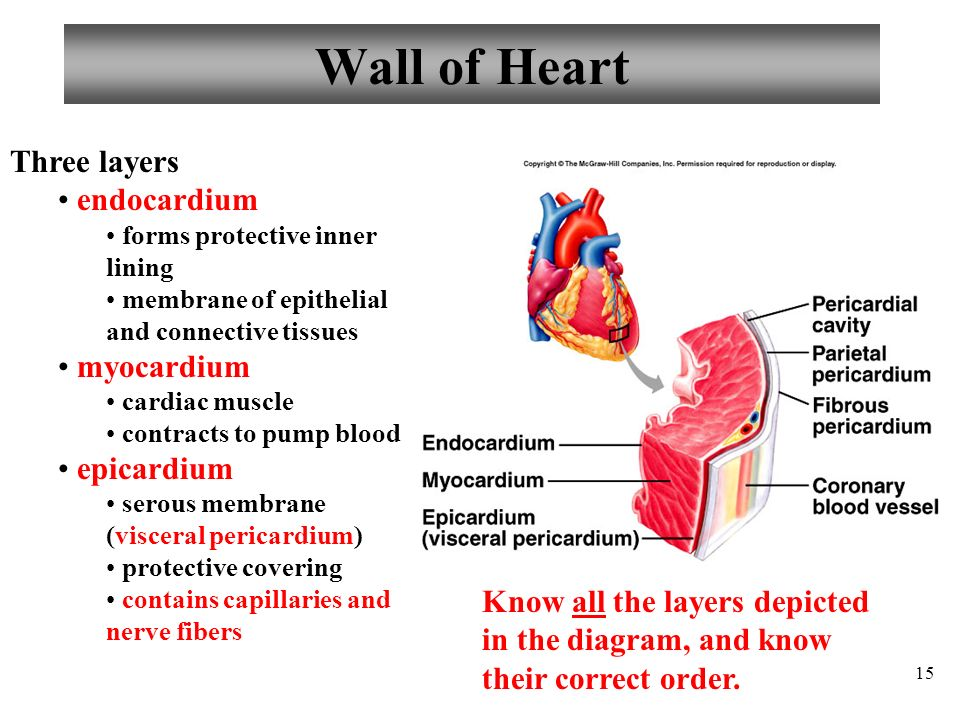 9346973 likewise 9716867 in addition Chest Cavity also 7331713 further Dr Sabir Hussaincvs Notes. on heart of the serous covering wall