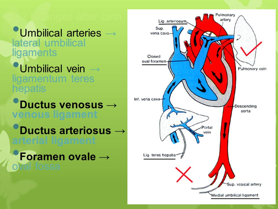 Heart Development Dr. Nimir. - ppt video online download