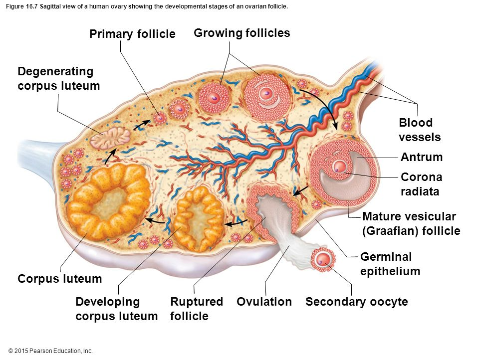 Vesicular Follicle The Reproductive Syste...