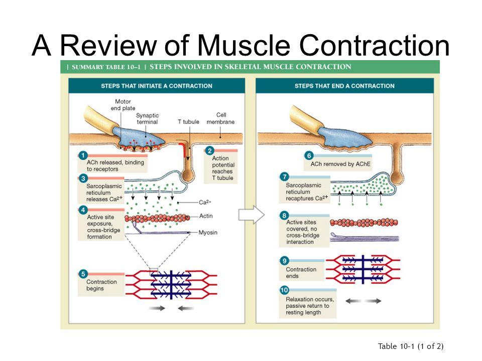 muscle contraction tutorial review
