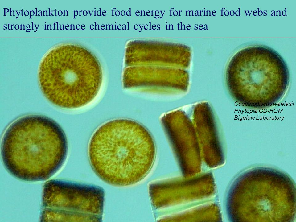 Phytoplankton provide food energy for marine food webs and strongly influence chemical cycles in the sea