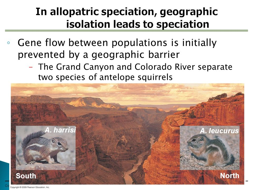 In allopatric speciation, geographic isolation leads to speciation