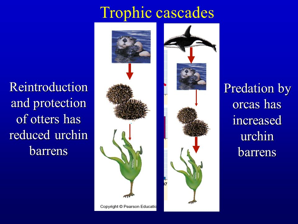 Reintroduction and protection of otters has reduced urchin barrens
