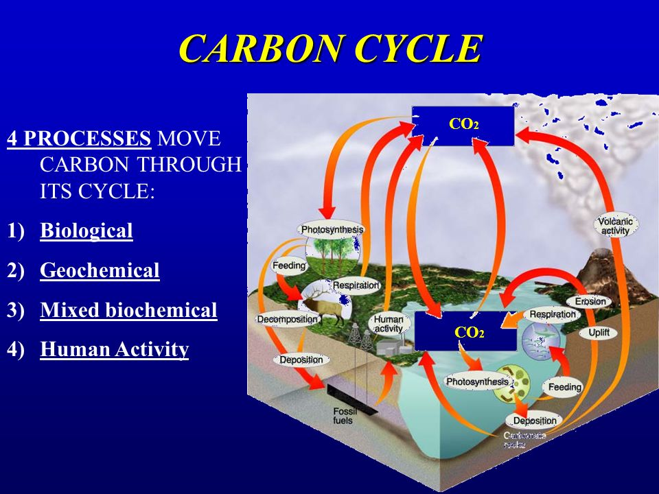 CARBON CYCLE 4 PROCESSES MOVE CARBON THROUGH ITS CYCLE: Biological