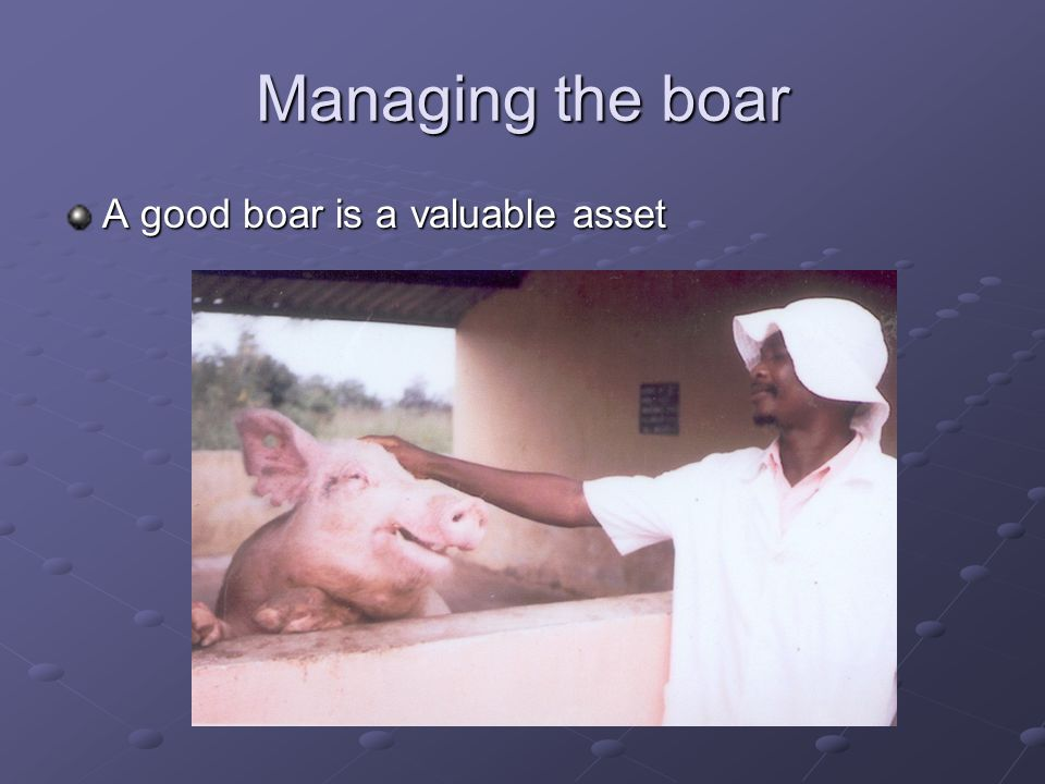 Managing the boar A good boar is a valuable asset