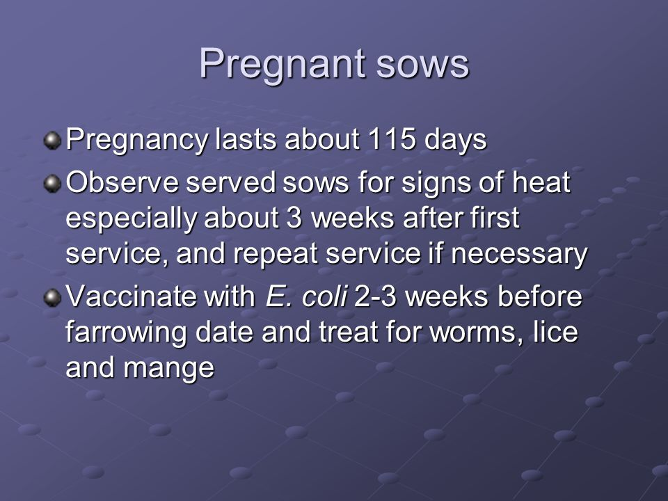 Pregnant sows Pregnancy lasts about 115 days