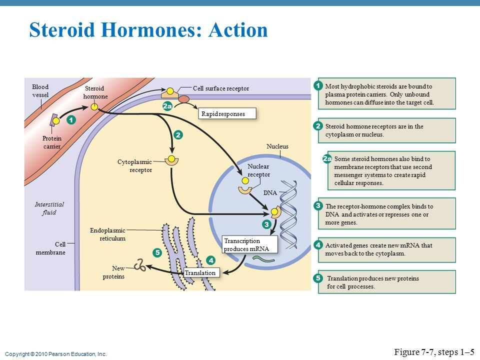 mechanism of action of steroid hormones pdf
