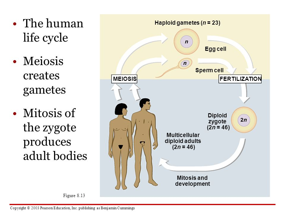 life span of the human sperm and human egg essay The human life cycle begins at fertilization, when an egg cell inside a woman and a sperm cell from a man fuse to form a one-celled zygote over the next few days, the single, large cell divides many times to form a hollow ball of smaller cells.