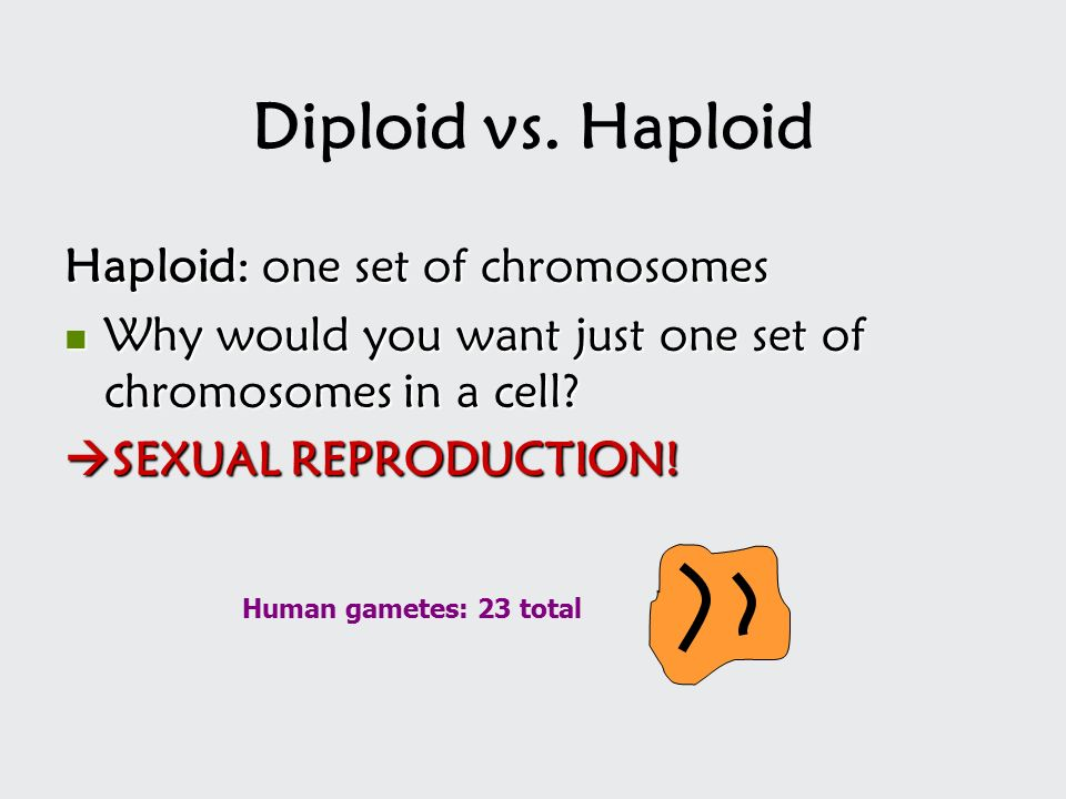 Diploid vs. Haploid Haploid: one set of chromosomes