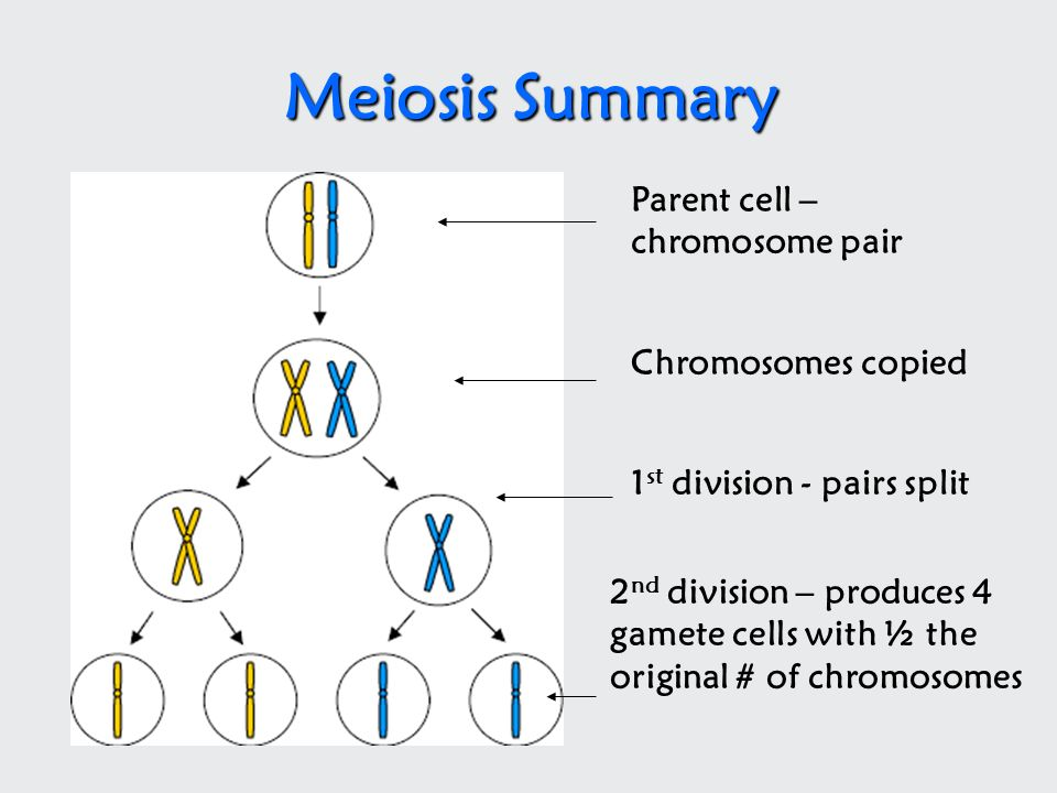 Meiosis Summary Parent cell – chromosome pair Chromosomes copied