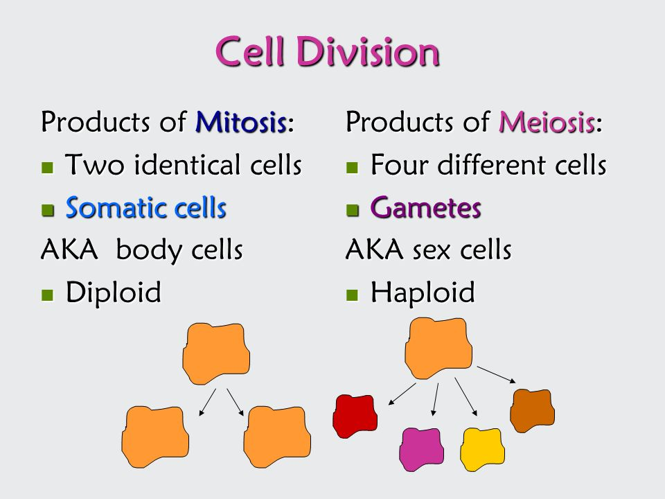 Cell Division Products of Mitosis: Two identical cells Somatic cells