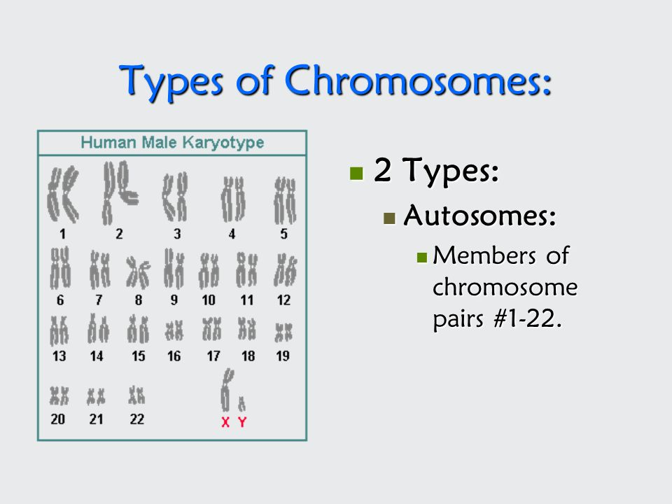 Types of Chromosomes: 2 Types: Autosomes: