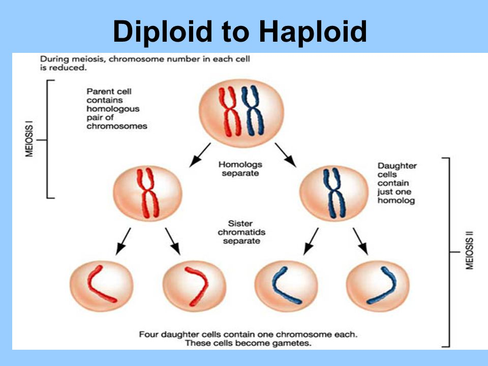 relationship between a diploid cell and haploid