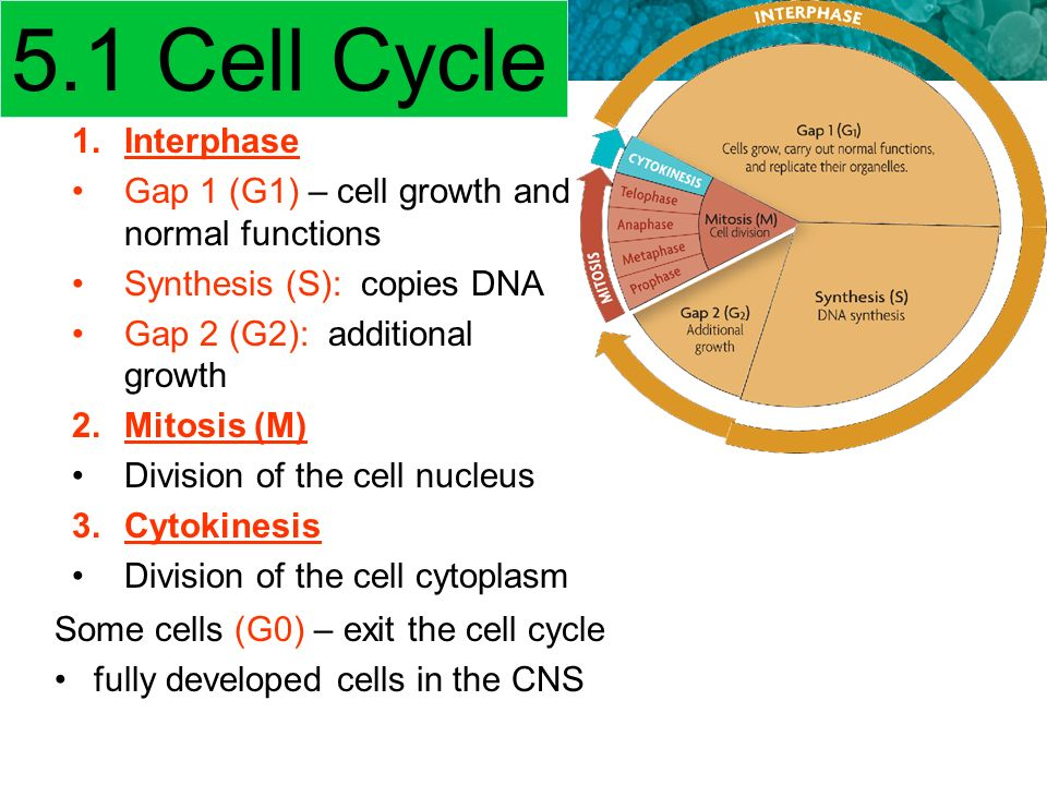 understanding the cell cycle and its functional decisions The cell cycle essay examples understanding the cell cycle and its functional decisions 669 words 1 page an overview of the stages of the cell cycle 512.