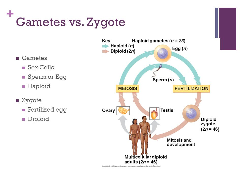 Gametes vs. Zygote Gametes Sex Cells Sperm or Egg Haploid Zygote
