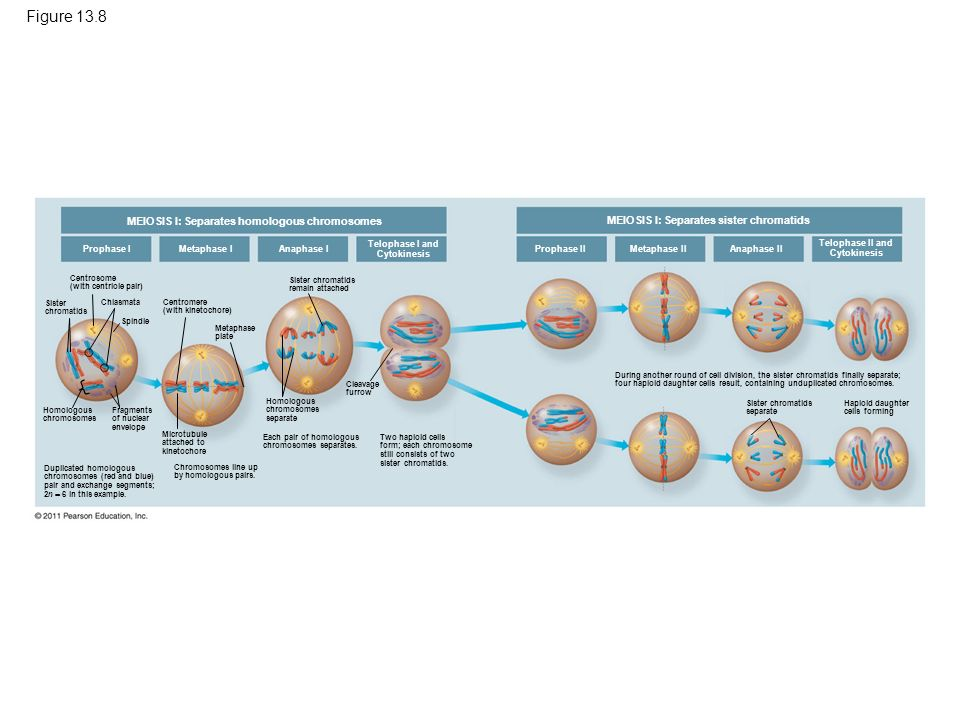 meiosis and homologous chromosomes So basically, there are 23 homologous pairs in both the normal cell state (like in the parent cell and the daughter cells) and there are 23 homologous pairs in prophase of mitosis, except each chromosome in these pairs has replicated to form 23 pairs of chromosomes in which each chromosome is made up of 2 chromatids joined together, not just a.