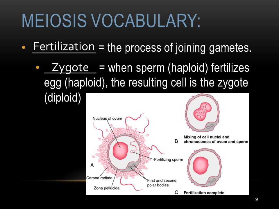 Meiosis Division of Sex Cells. - ppt download